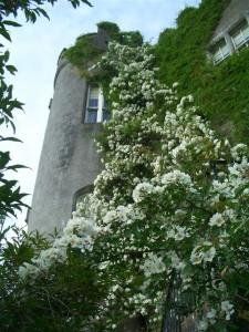 Himalayan rose (Medium)