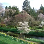 good view of magnolias and daffodils in river garden (Medium)