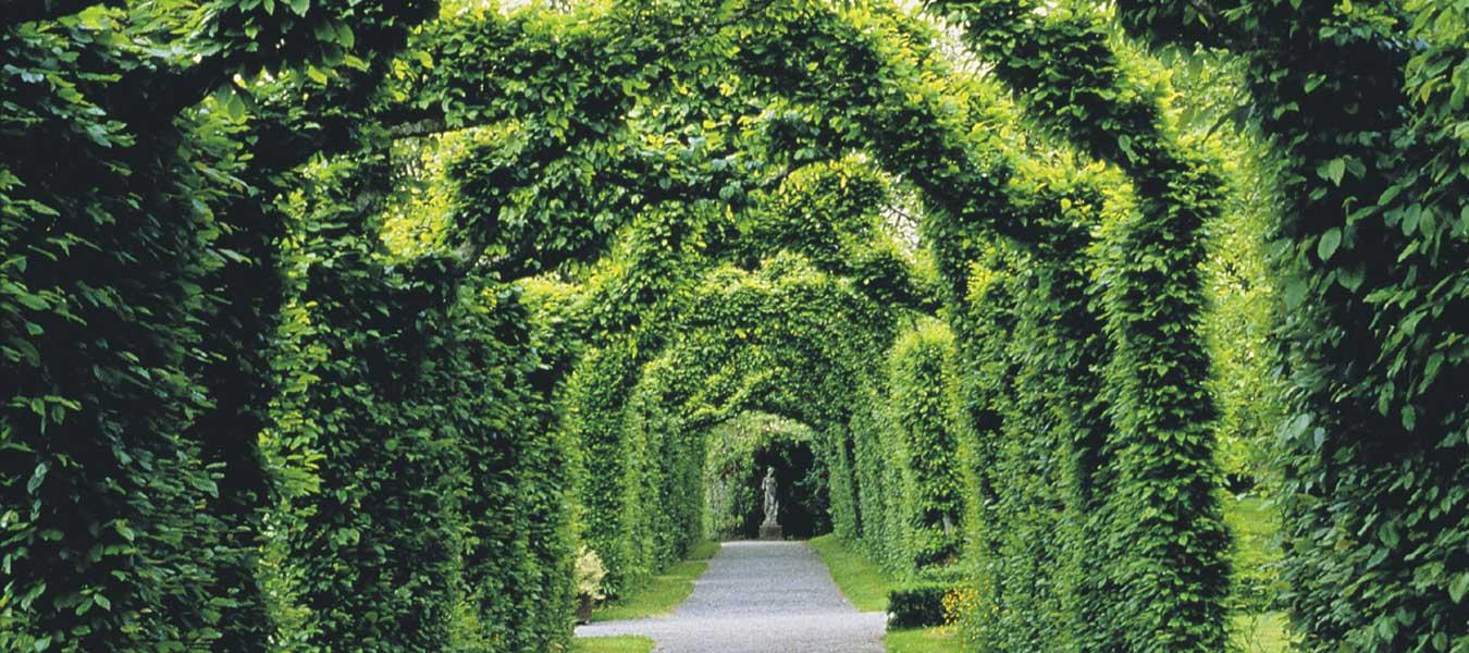 Birr Castle Hornbeam Summer